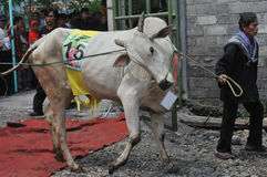 Livestock contest in Indonesia Stock Photo