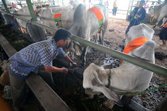 Livestock contest in Indonesia. A breeder herding his cattle who participated in the contest livestock in Klaten, Java, Indonesia Royalty Free Stock Photo