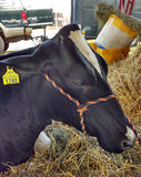 Livestock at a County Fair, Cow Resting in Hay, Pennsylvania, USA Royalty Free Stock Image