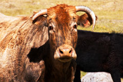 Livestock-3. Cow with odd looking horns staring at camera Stock Image