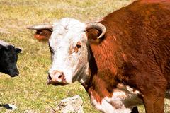 Livestock-4. Cow with odd looking horns staring at camera Royalty Free Stock Photos