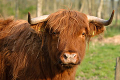 Livestock - Cows Stock Photography