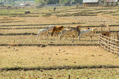 Livestock of cows in field drought Royalty Free Stock Photography