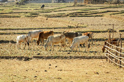 Livestock of cows in field drought Royalty Free Stock Image