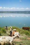 Livestock eating by Elmenteita Lake, Kenya Royalty Free Stock Images