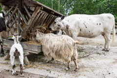 Livestock eating its hay lunch Royalty Free Stock Photo