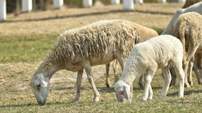 Livestock farm, flock of sheep. In Thailand animal nature pasture wool grass agriculture meadow rural countryside ewe green lamb mammal white farming field herd stock photography