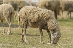 Livestock farm, flock of sheep. In Thailand animal nature pasture wool grass agriculture meadow rural countrye ewe green lamb mammal white farming field herd stock photography