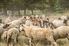 Livestock. In a farm, with goats, sheep and donkeys Stock Photography