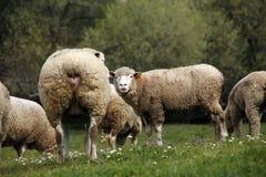 Livestock farm - herd of sheep Stock Photos