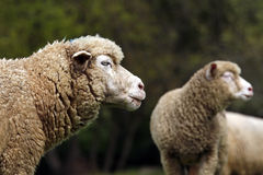 Livestock farm - herd of sheep Stock Images