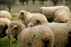 Livestock farm - herd of sheep Royalty Free Stock Image