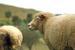 Livestock farm - herd of sheep Royalty Free Stock Photos