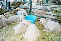 Livestock farm, herd of sheep Royalty Free Stock Images