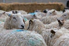 Herd of sheep. Livestock farm, Herd of sheep close up Stock Photos