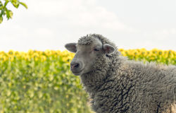 Livestock farm in the summer. Sheep on grazing on a summer field Royalty Free Stock Photo