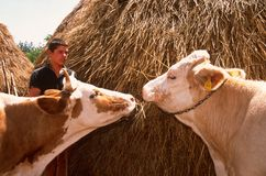 Livestock farming in Kosovo. Stock Photos