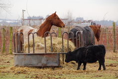 Livestock Feeder. A large container supplies hay for various livestock Royalty Free Stock Photo