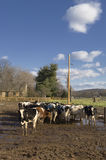 Livestock in a Feedlot. View of cows on a sunny day in a muddy feedlot Stock Photo