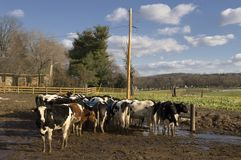 Livestock in a feedlot. Vie of cows on a sunny day in a muddy feedlot Royalty Free Stock Image