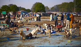 Livestock goat market in New Delhi Royalty Free Stock Photos