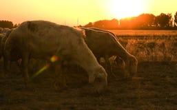 livestock on grass field Stock Photo