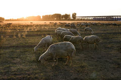 Livestock on grassland Royalty Free Stock Image