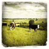 Livestock grazing. On hill, New Zealand Stock Photography