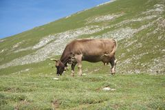 Livestock grazing in Cantabrian valley Royalty Free Stock Photos