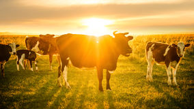 Livestock grazing at sunset. Livestock grazing on grassland at sunset Royalty Free Stock Photography