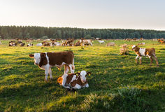 Livestock grazing during sunset in an idyllic valley Royalty Free Stock Photos