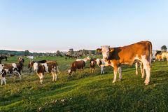 Livestock grazing during sunset in an idyllic valley Royalty Free Stock Image