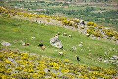 Livestock at Gredos mountains Royalty Free Stock Images