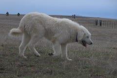Livestock guardian dog. Akbash Komondor mix livestock guardian dog in the field stock images