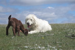 Livestock guardian dog and baby goat. Akbash Komondor cross livestock guardian dog watching over a baby goat Royalty Free Stock Photography