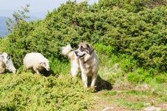 Livestock guardian dog in Carpathian Mountains. Livestock guardian dog against the sheep on the trail in Carpathian Mountains stock photo