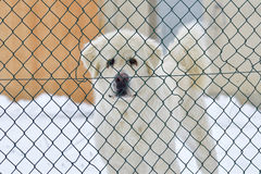 Livestock guardian dog Stock Photo