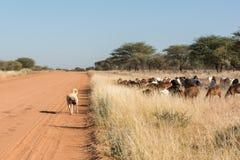 Livestock guarding dog with herd. A Kangal livestock guarding dog roams in between a herd of Damara fat-tailed sheep, Namibia, June stock photos