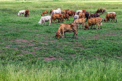 Livestock herds of cattle grazing Royalty Free Stock Image