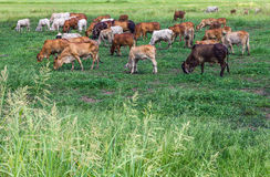 Livestock herds of cattle grazing Royalty Free Stock Photography
