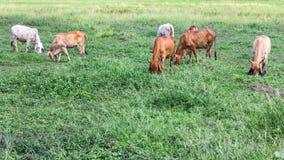 Livestock herds of cattle grazing Stock Photo