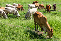 Livestock herds of cattle grazing Stock Photos