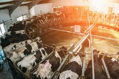 Livestock husbandry and Production of dairy products concept, Milking cows. Sunshine effect stock image