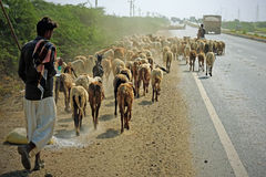 Livestock on an Indian highway Royalty Free Stock Photos