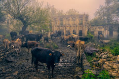 Livestock in Karabakh Royalty Free Stock Photos