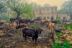 Livestock in Karabakh. Livestock in front of ruins of house in mountainous Karabakh destroyed by war Stock Images