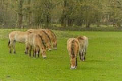 Livestock - Large Animals - Przewalski's Horse Stock Image