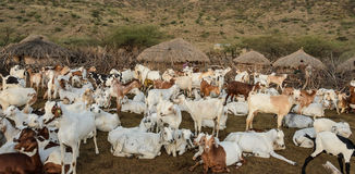 Livestock of maasai tribe in africa Royalty Free Stock Photos