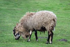 Easy Way Of Living One Sheep On Green Field Royalty Free Stock Image
