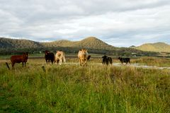 Livestock in the pasture in Australia Stock Photo